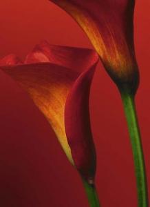Fototapety Červená Calla
