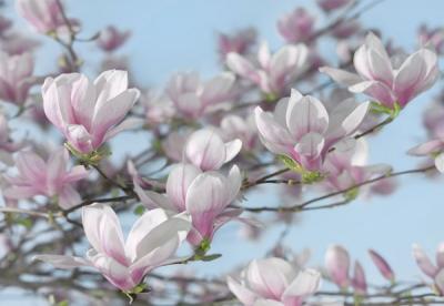Fototapety na zeď Květy Magnolie