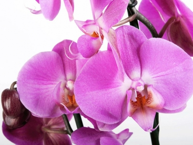 Fototapeta Orchidej fialová
