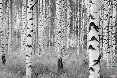 Fototapeta Vlies Woods, březový les