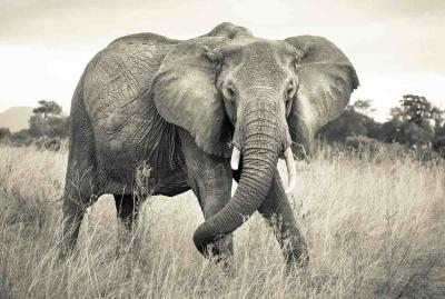 Fototapeta vlies Slon National Geographic