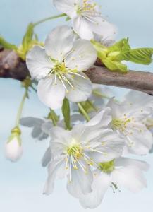 Fototapeta Vlies Květ jabloně