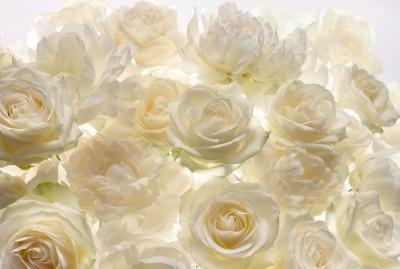 Fototapeta Vlies Shalimar růže