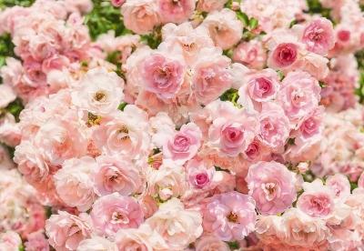 Fototapety na stěnu Růže