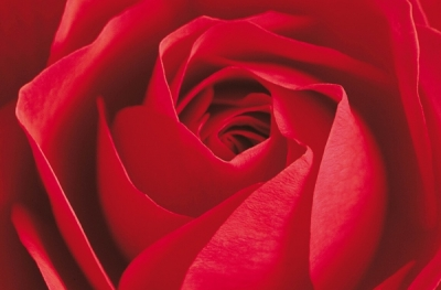 Fototapety Rudá Růže