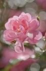 Fototapety Růžová romantická kytice