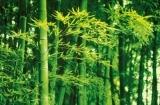 Fototapeta na zeď Bambus na jaře