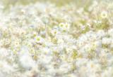 Fototapeta Kopretiny v letním vánku