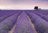 Fototapeta Vlies Provence levandule